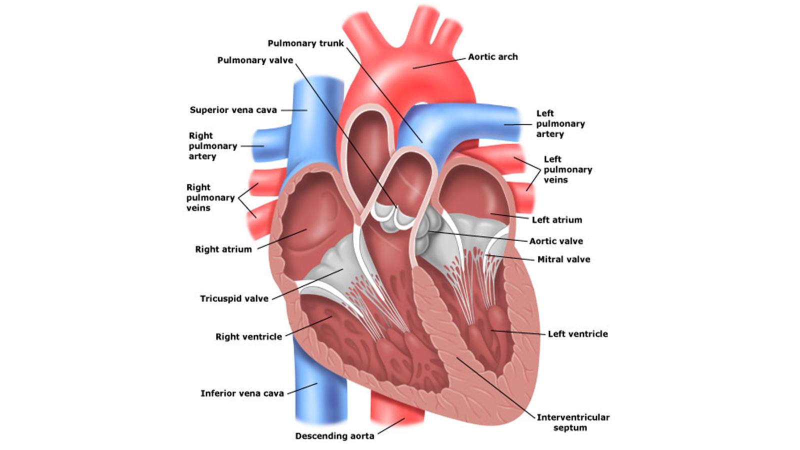โรคของระบบหัวใจและหลอดเลือด