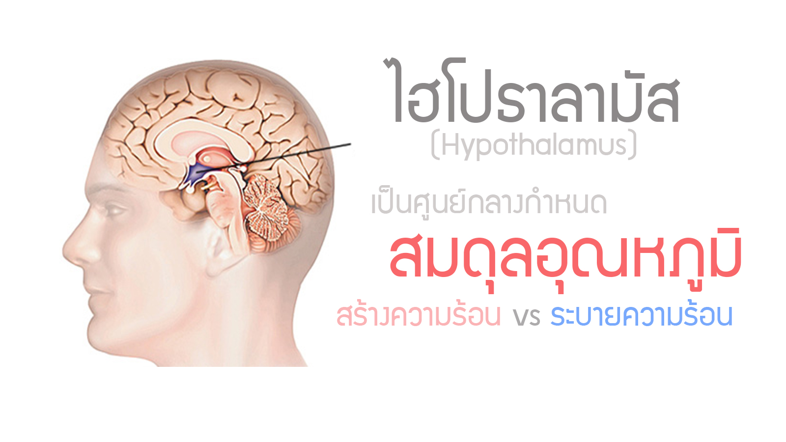 Fever hypothalamus text