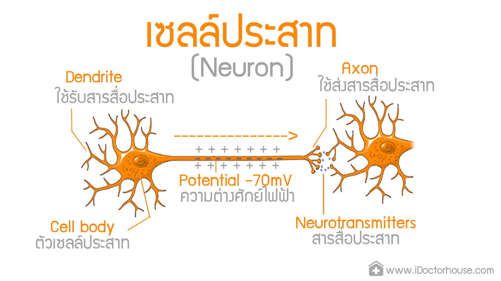 Physiology CNS Neuron ST