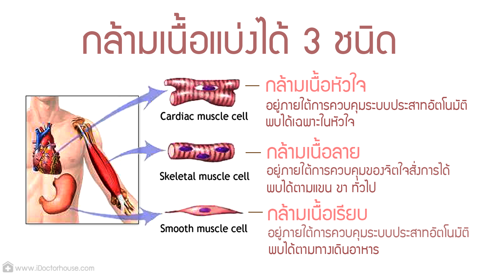 Physiology MS muscle stamp