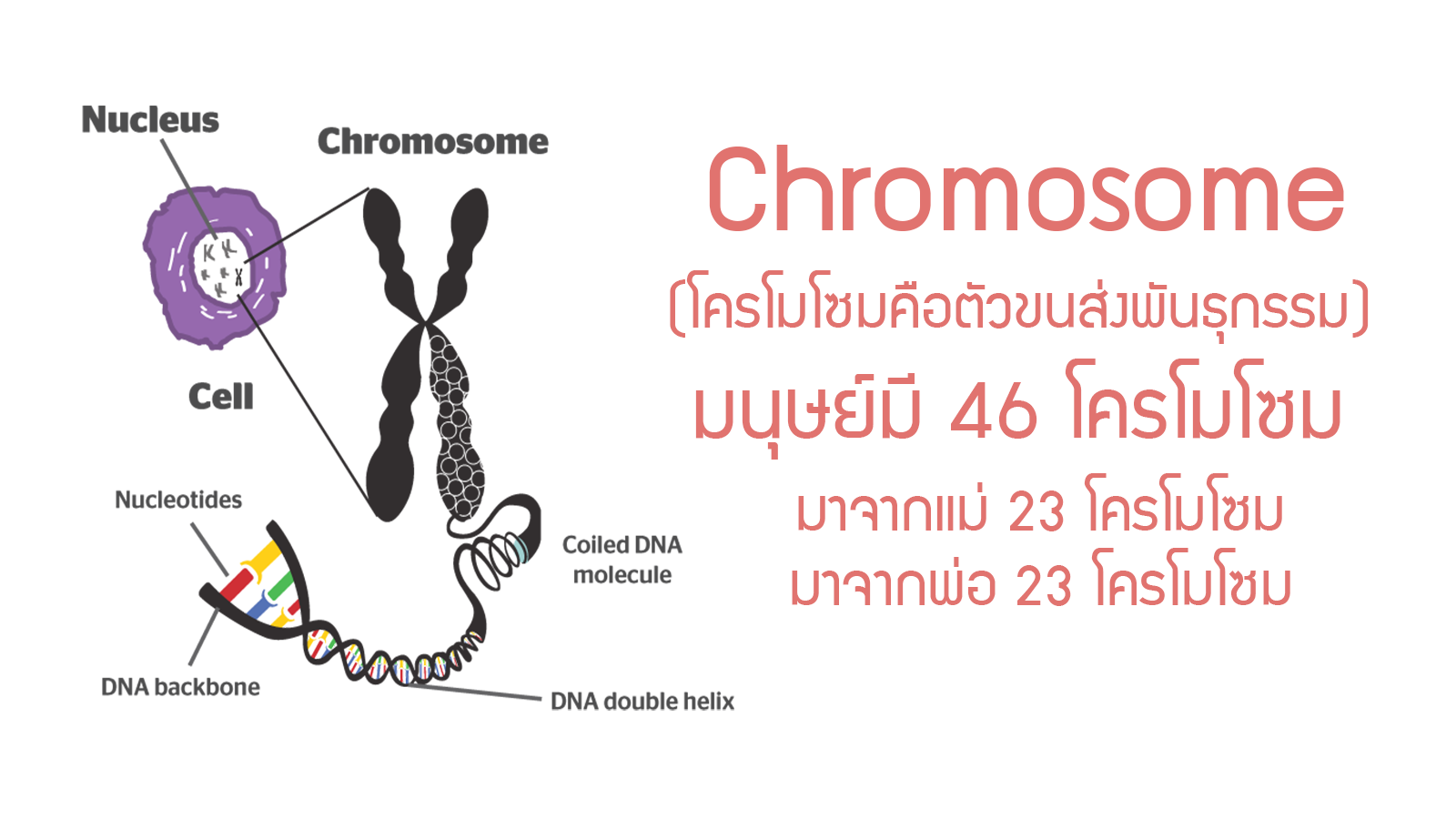 Physiology Reproductive chromosome