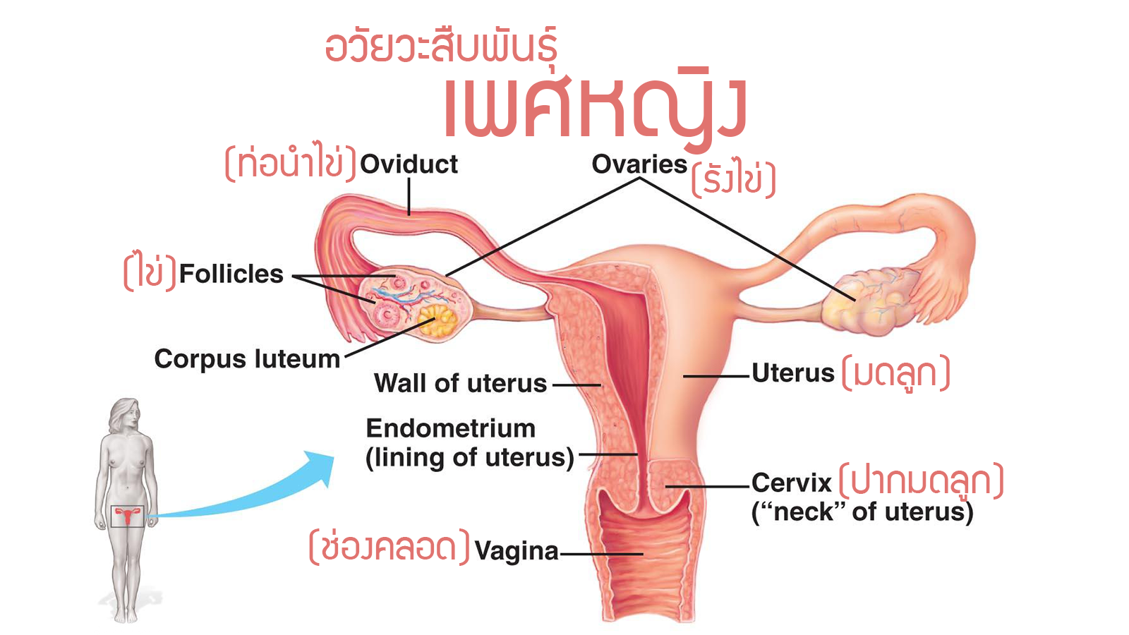 Physiology Reproductive female