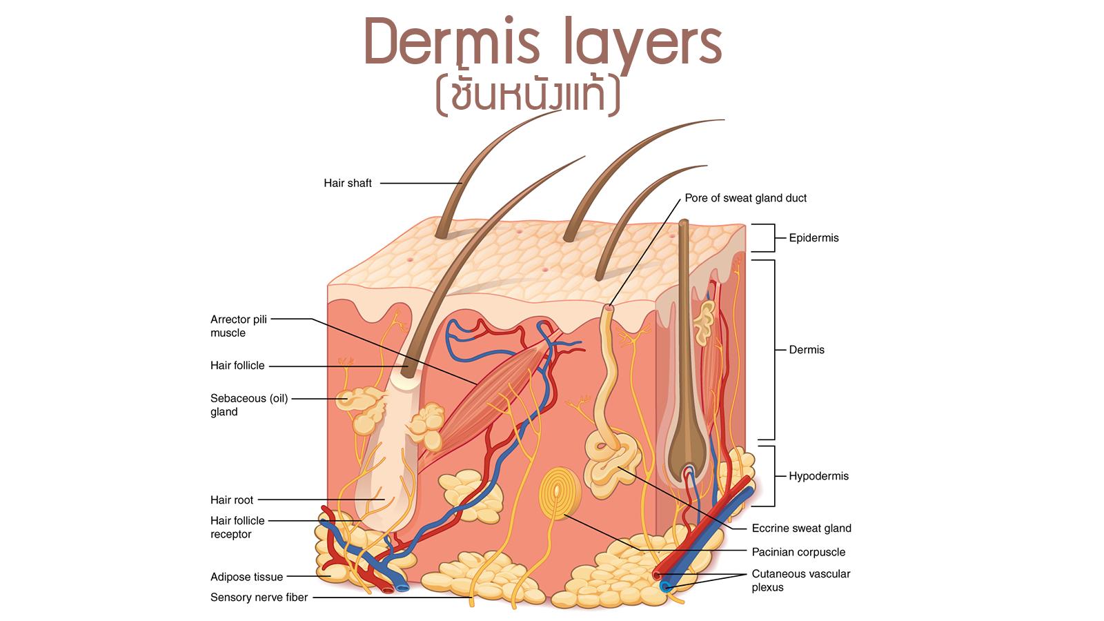 Physiology Skin dermis