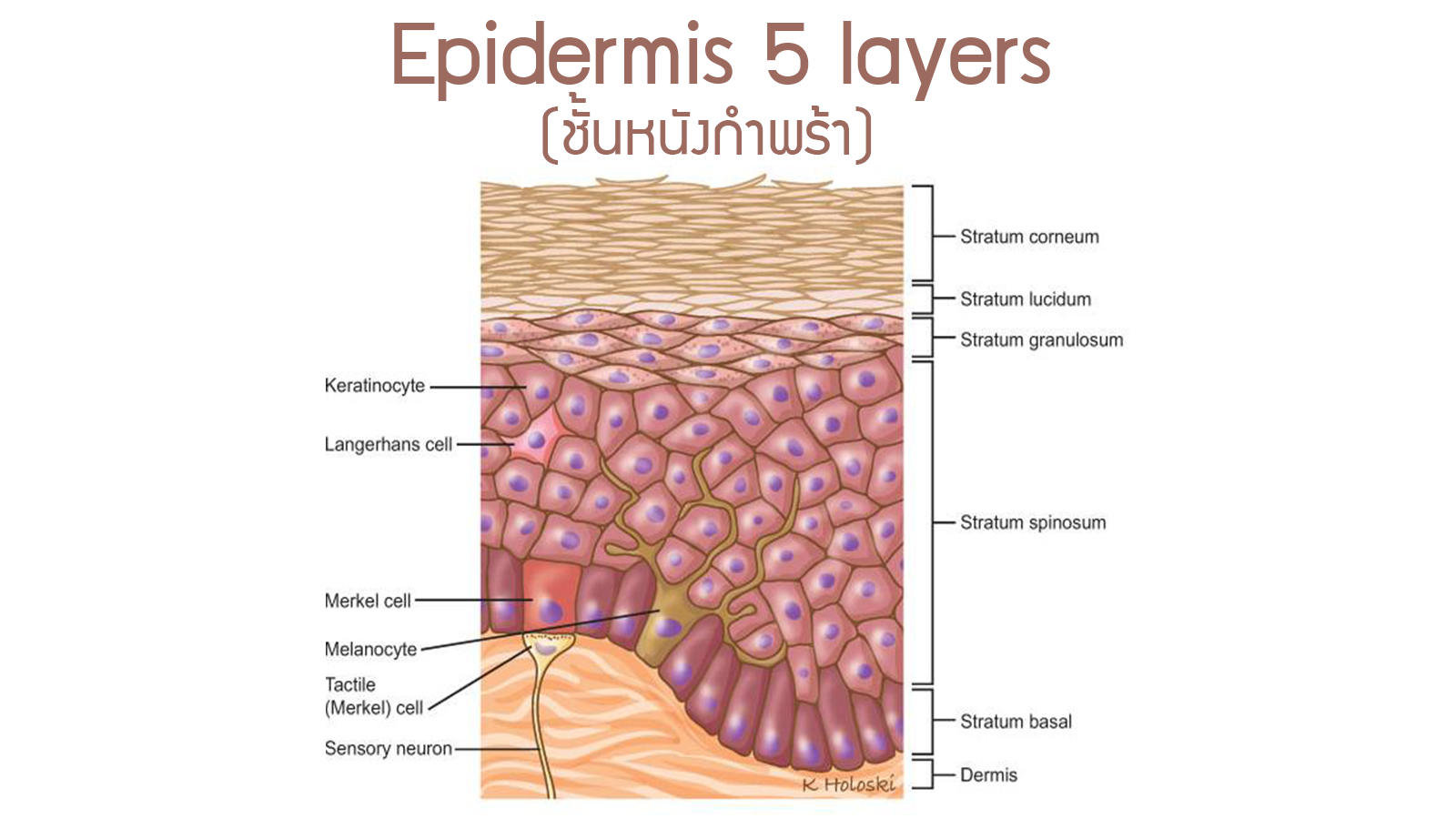 Physiology Skin epidermis