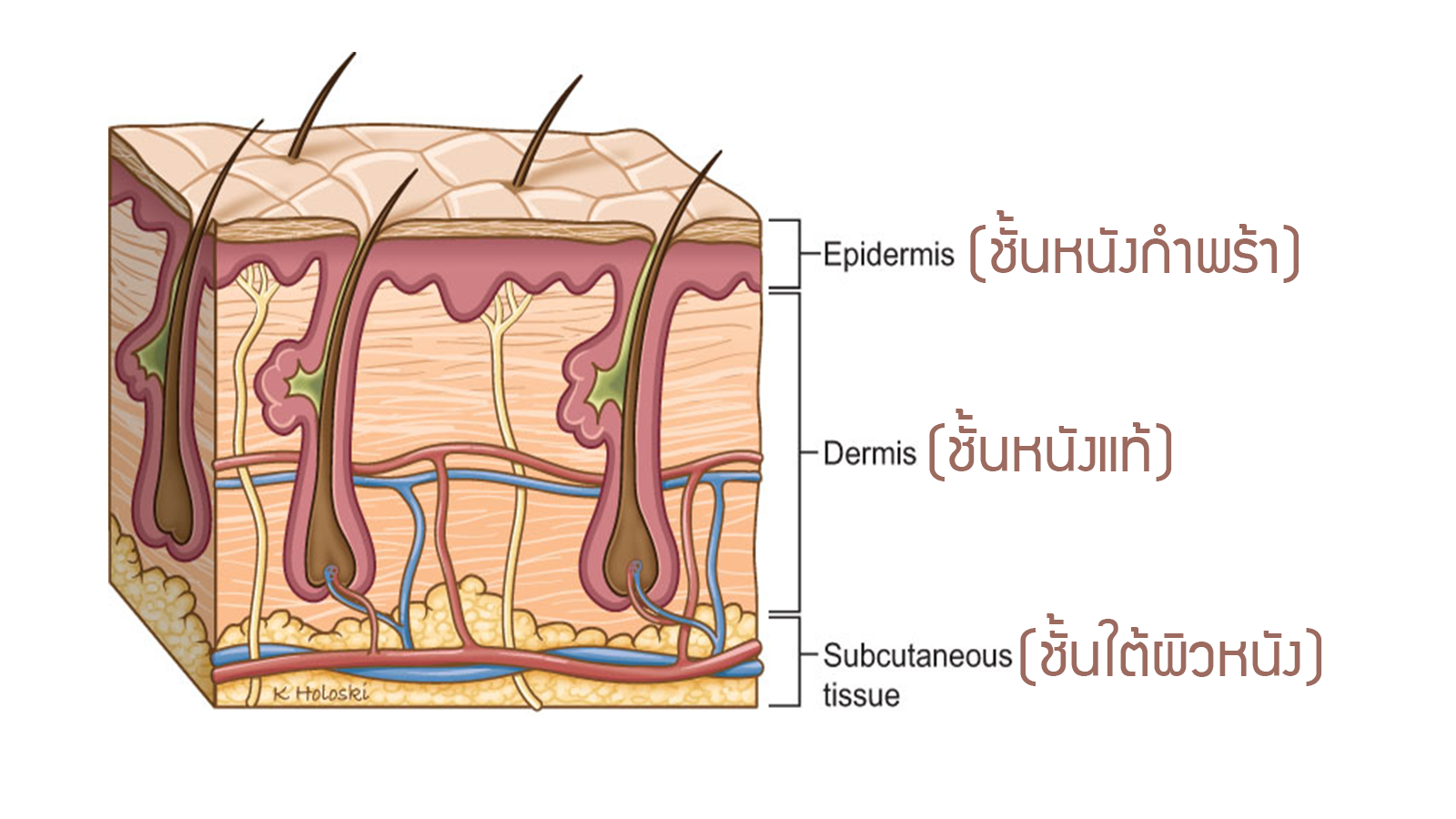 Physiology Skin layer