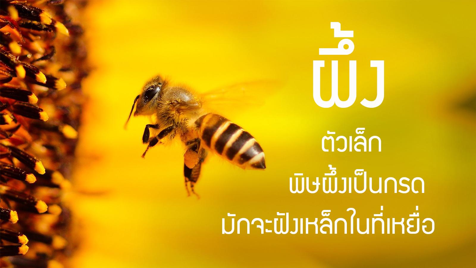 ผึ้ง ลักษณะผึ้ง bee